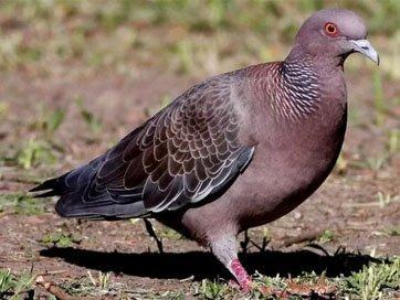 Pombo Asa-branca