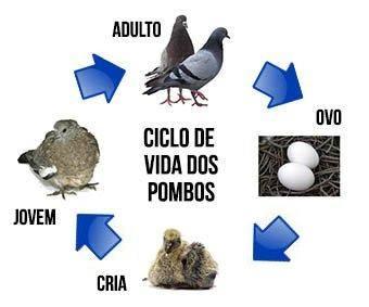 Ciclo de vida dos pombos