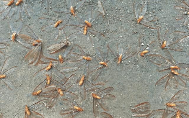 A revoada dos cupins - Os siriris perdem as asas e formam seu ninho